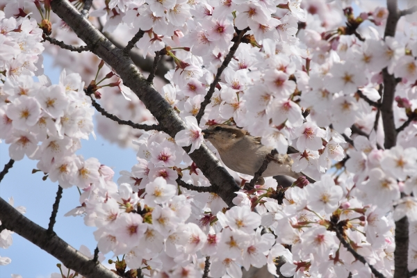 桜ニュウナイスズメ♀3