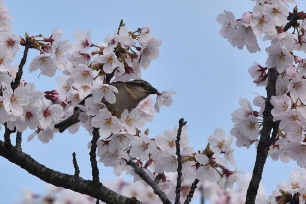 桜ニュウナイスズメ♀4