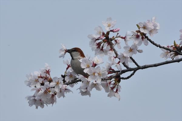 桜ニュウナイスズメ♂1