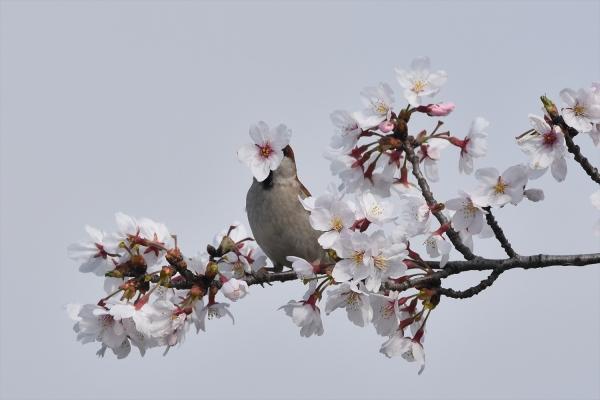 桜ニュウナイスズメ♂2