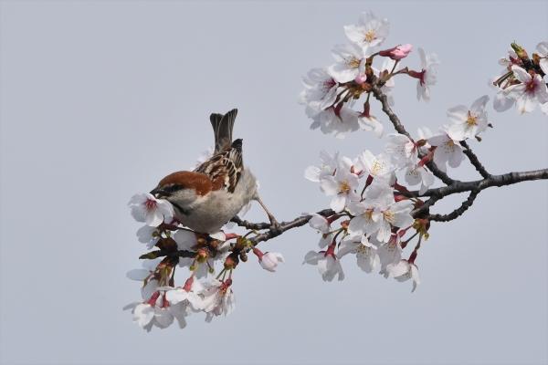 桜ニュウナイスズメ♂3