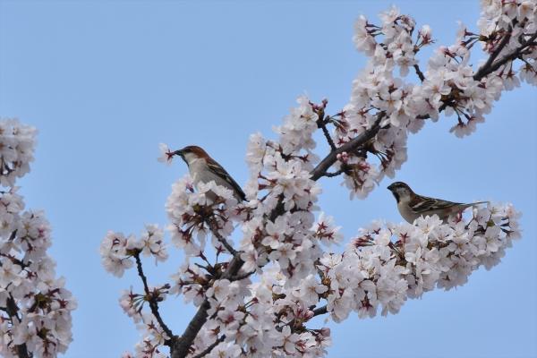 桜ニュウナイスズメ♂4