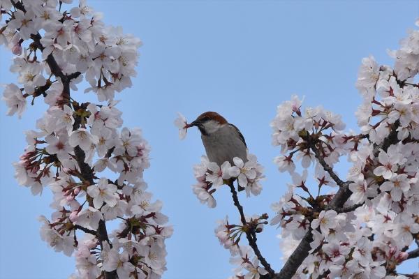 桜ニュウナイスズメ♂5