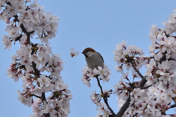 桜ニュウナイスズメ♂6