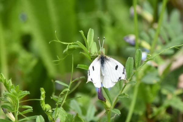 ツマキチョウ雌1