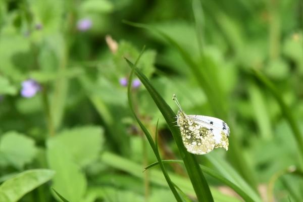 ツマキチョウ雌2