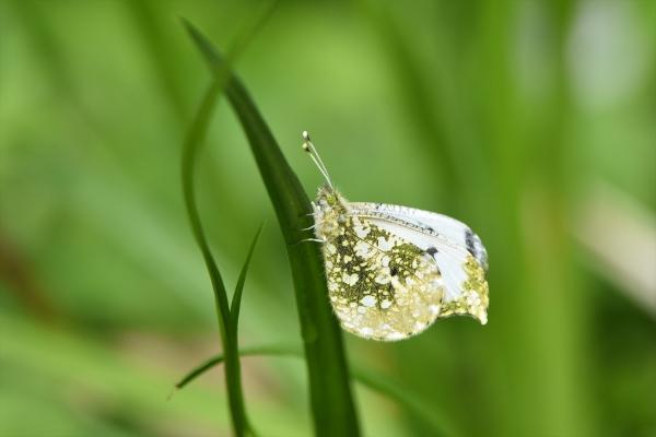 ツマキチョウ雌3