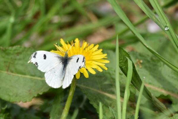 ツマキチョウ雌4