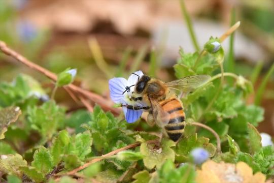 セイヨウミツバチ2