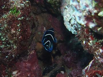 IOP サザナミヤッコの幼魚(1)