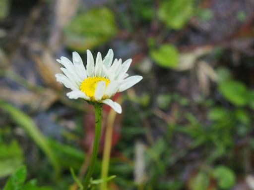 20150830・高峰高原植物07・フランスギク