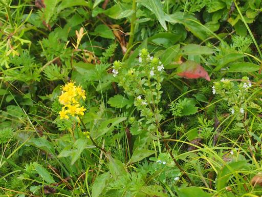 20150830・高峰高原植物27・タチコゴメグサ