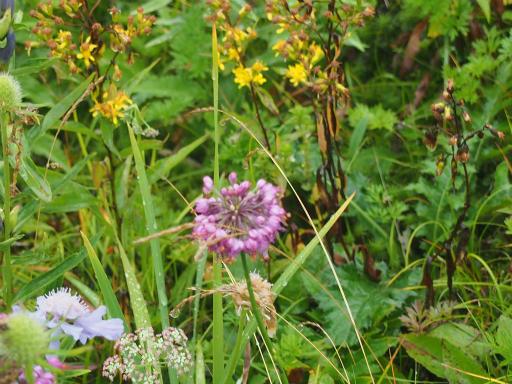 20150830・高峰高原植物25・ヤマラッキョウ