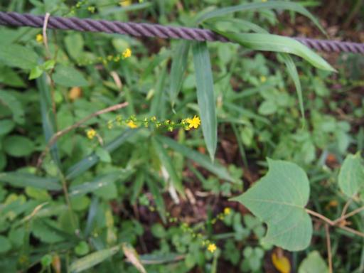 20150926・浅間山植物04・キンミズヒキ