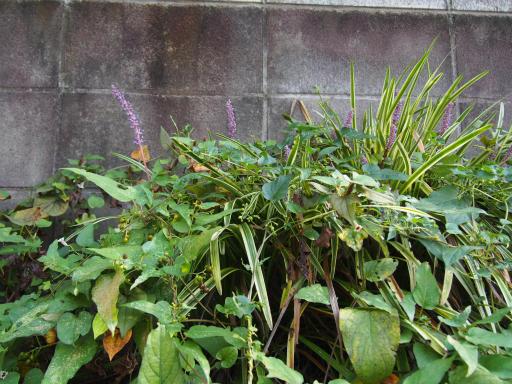 20150912・久々の晴れ植物1・ヤブラン