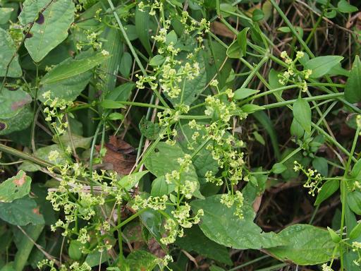 20150926・浅間山植物10・ツルソバ