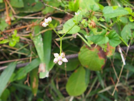 20150926・浅間山植物09・ミゾソバ
