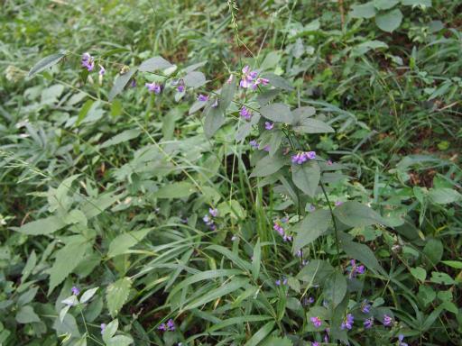 20150926・浅間山植物05・ナンテンハギ