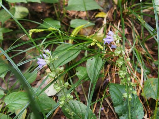 20150926・浅間山植物14・アキノタムラソウ