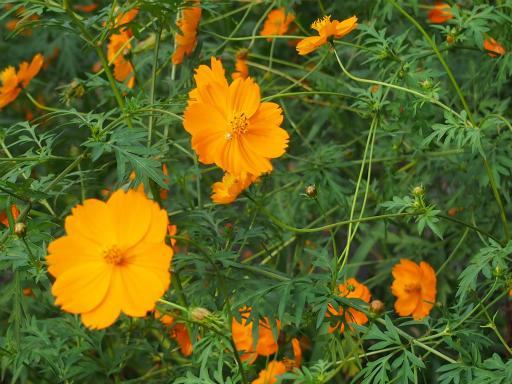 20150926・浅間山植物20・キバナコスモス