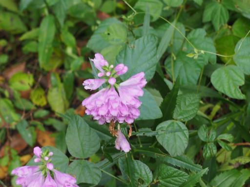 20150926・浅間山植物17・キツネノテブクロ