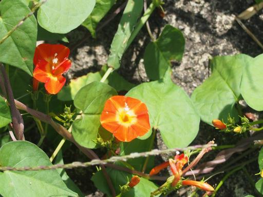 20151004・法事植物2・マルバルコウ