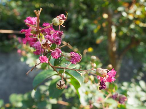 20151012・トトロ狭山湖植物01・サルスベリ