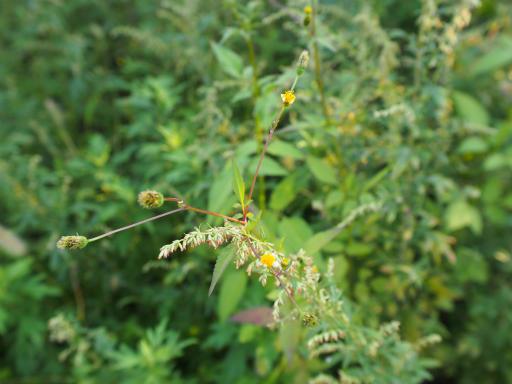 20151012・トトロ狭山湖植物10・アイノコセンダングサ