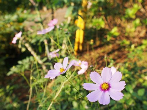 20151012・トトロ狭山湖植物08・コスモス