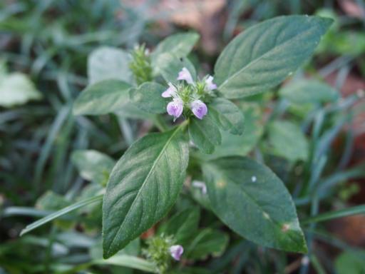 20151012・トトロ狭山湖植物07・キツネノマゴ
