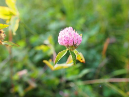 20151012・トトロ狭山湖植物12・ムラサキツメクサ
