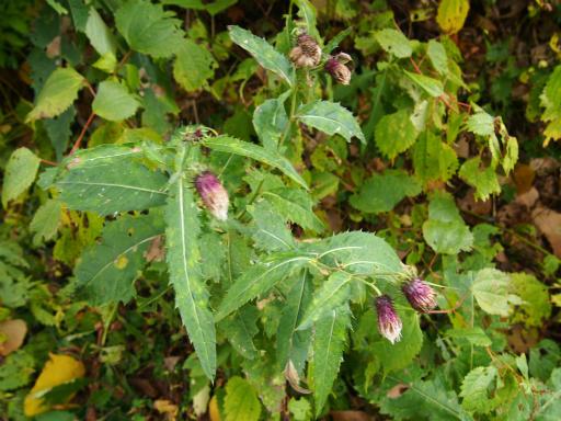 20151025・松之山植物04・ミョウコウアザミ