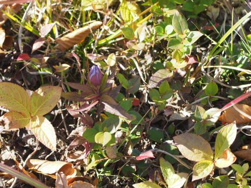 20151025・松之山植物11・リンドウ