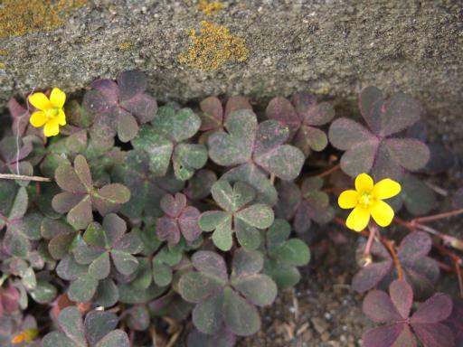 20151107・えこねこ植物2・アカカタバミ