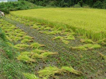 稲刈り2015 (2)ぶろぐ