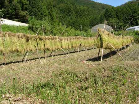稲刈り2015 (11)burogu
