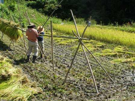 稲刈り2015 (7)ぶろぐ