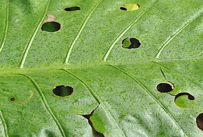 サトイモ科の葉の丸い穴2
