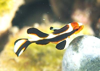 ヒレグロコショウダイ?の幼魚