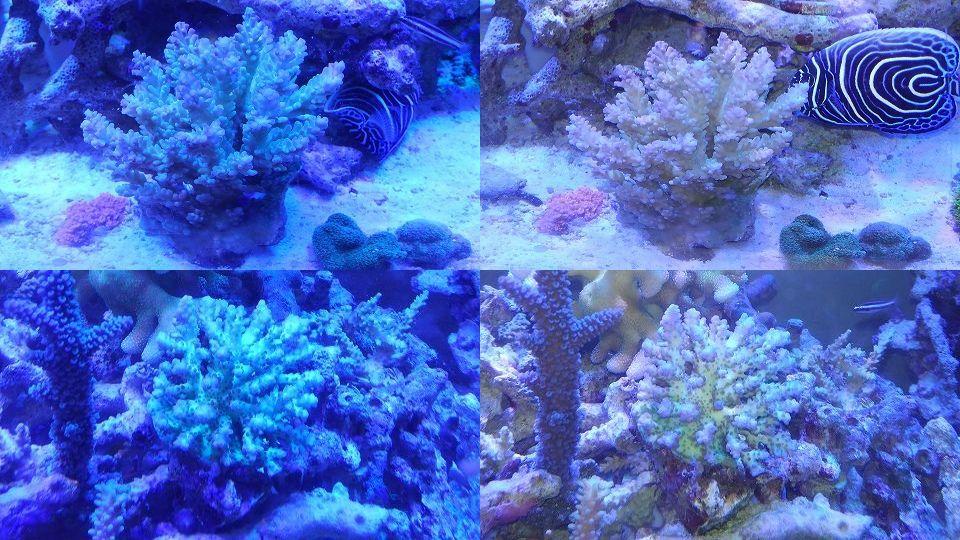 インドネシア産サンゴ20150923_連結