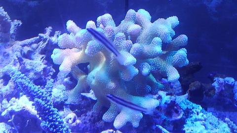 ショウガサンゴ青照明20150829