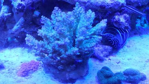 インドネシア産サンゴ甲20150923_02