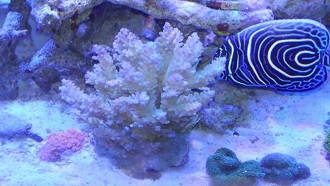 インドネシア産サンゴ甲20150923_03