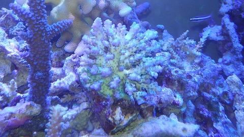 インドネシア産サンゴ乙20150923_03