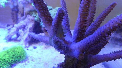 サンゴカクレエビ20151031