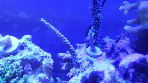 たらふくさん産サンゴ20151121_03