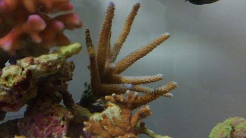 たらふくさん産サンゴ20151121_08