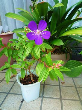 二年目で紫の花が (2)