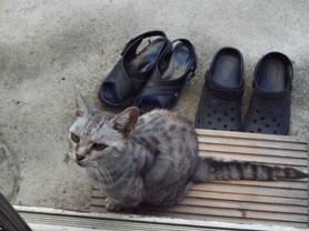 ペット地域猫で老猫チータが早朝からエサをくれと網戸を叩き起こされる