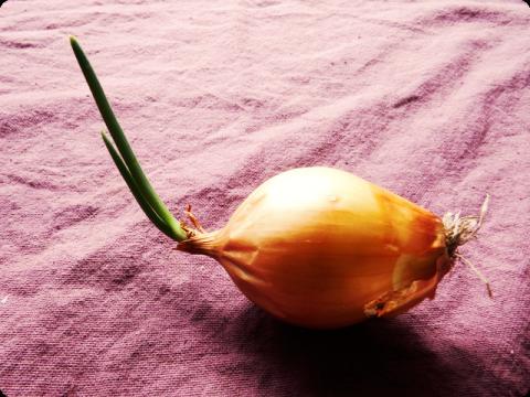 玉ねぎ芽1